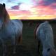 horses, Iceland favorite horses, Profilm