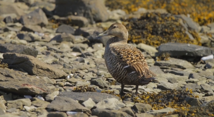 eider ducks, Profilm